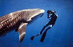 Swim with the Whale Sharks at Isla Holbox