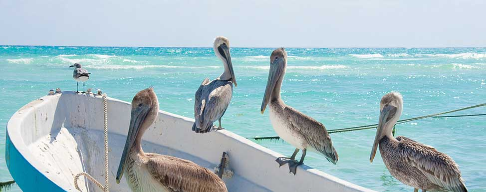 A flock of Brown Pelicans sitting on boat in Puerto Morelos, Mayan Riviera, Mexico.