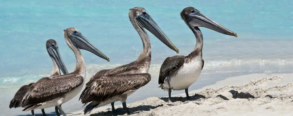 Playa Del Carmen, Cancun and Puerto Morelos all have many Brown Pelicans.